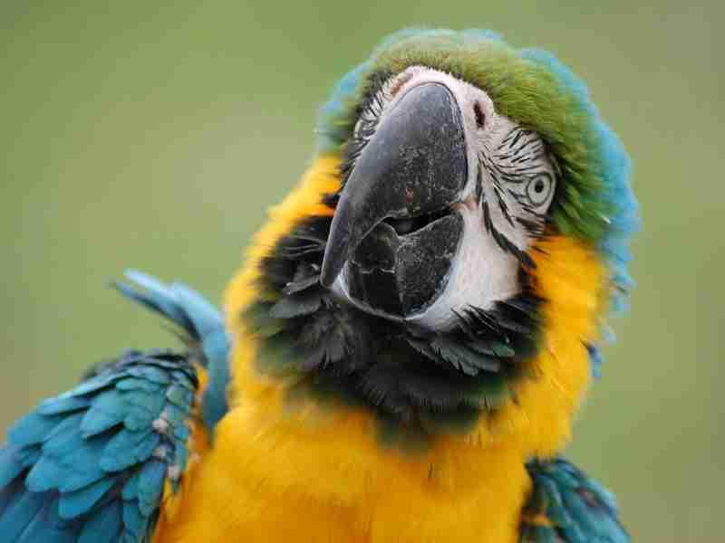 parrot-pet